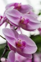orchids-64
